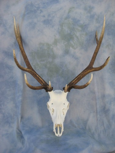 Elk European skull mount; Colorado