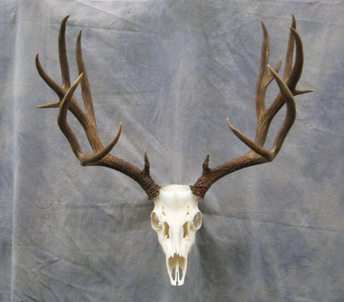 Showpiece Taxidermy Deer Amp Elk European Skull Mounts