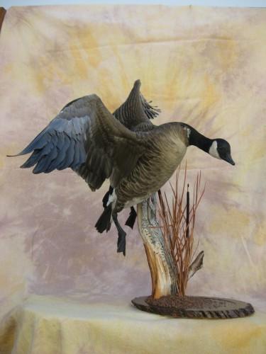 Lesser Canada goose mount; Pierre, South Dakota