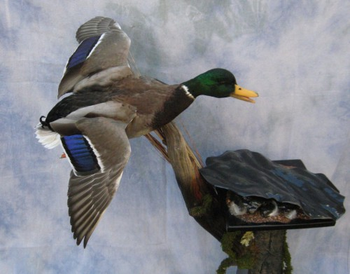 Mallard duck mount; Aberdeen, South Dakota