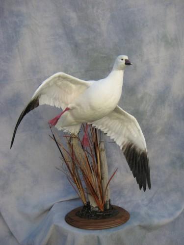 Ross goose mount; Denver, colorado