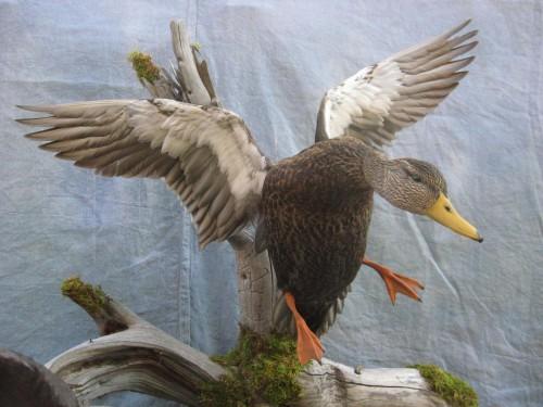 Black duck drake mount; Saskatchewan, Canada