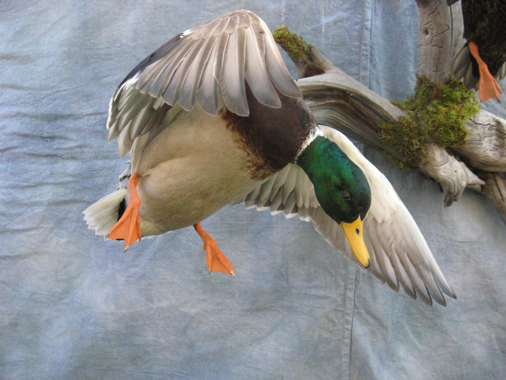 Mallard cupping mounts - photo#13