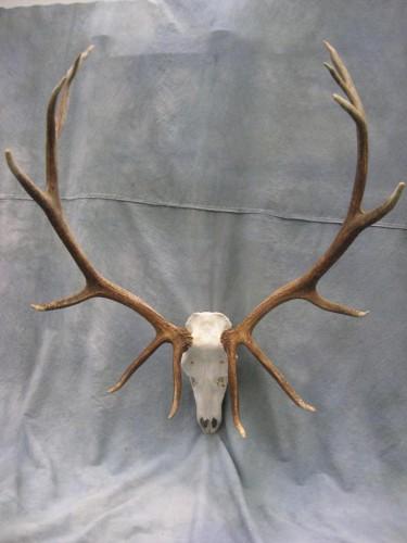 Elk European skull mount; Craig, Colorado