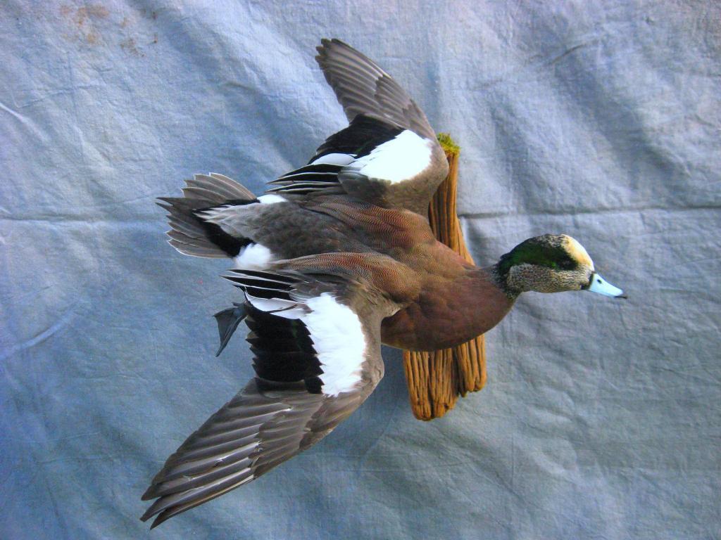 Showpiece Taxidermy: Wood Duck, Mallard, and Pintail Mounts