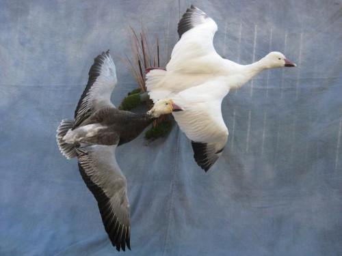 Snow and blue goose mount; Fort Morgan, Colorado