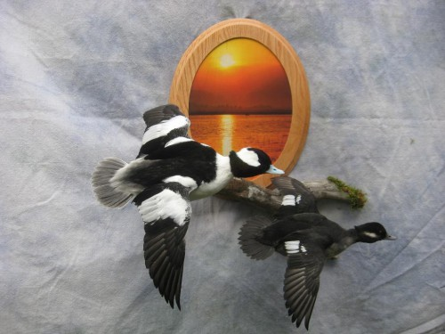 Bufflehead duck pair mount; Fort Morgan, Colorado