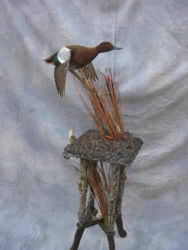 Cinnamon teal duck mount; Denver, Colorado