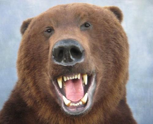 Brown bear life size mount; Kamatchka Peninsula, Russia