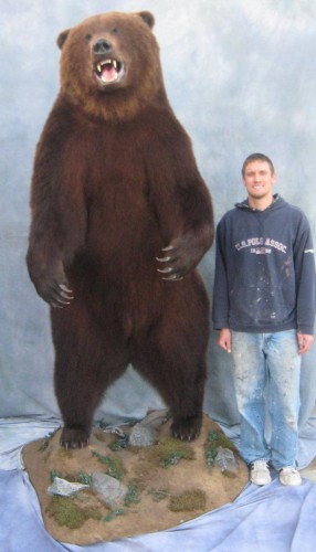 Brown bear life size mount - human comparison; Kamatchka Peninsula, Russia