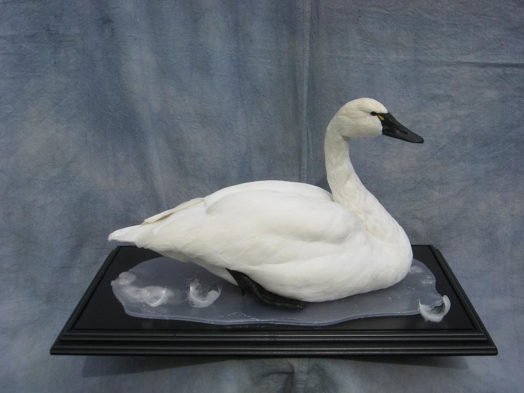 Showpiece Taxidermy Goose Wood Duck Amp Mallard Mounts