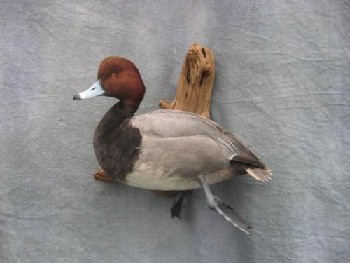 Redhead duck mount; Julesburg, Colorado