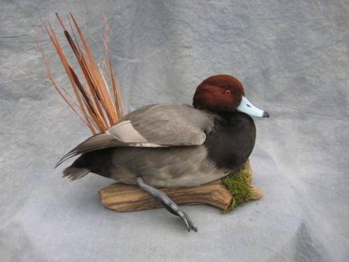 Redhead duck mount; Fort Morgan, Colorado