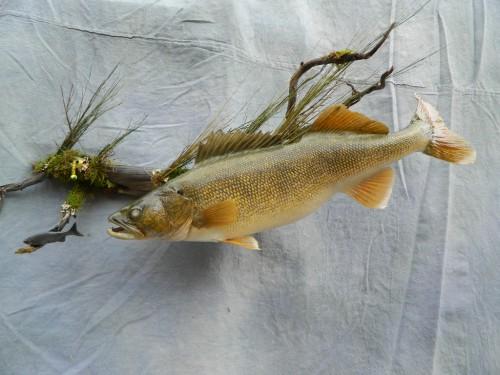 Walleye and shiner fish mount; Denver, Colorado