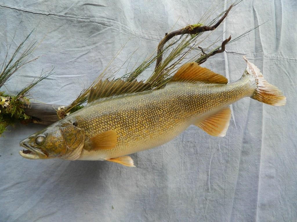 Showpiece taxidermy fish walleye trout crappie mounts for Walleye fishing videos