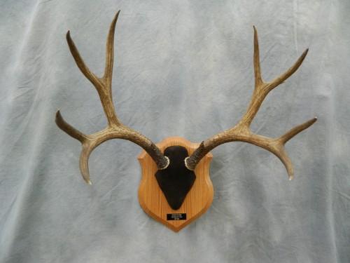 Deer antler plaque mount; Longmont, Colorado
