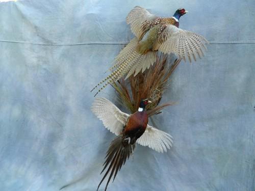 Double ringneck pheasant mount; Brighton, Colorado