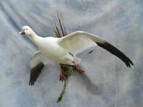 Snow goose mount; Brighton, Colorado