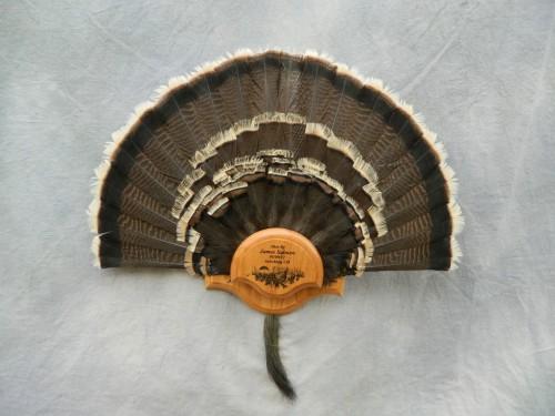 Turkey tail fan mount; Beaver Creek, Colorado