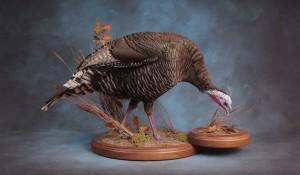 Merriam's wild turkey hen mount; Rapid City, South Dakota