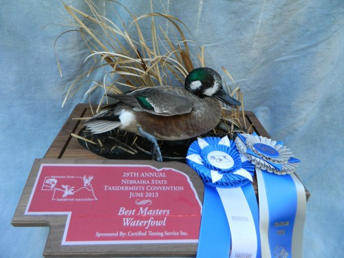 Northern shoveler X wigeon hybrid duck mount; Award winner in Colorado and Nebraska