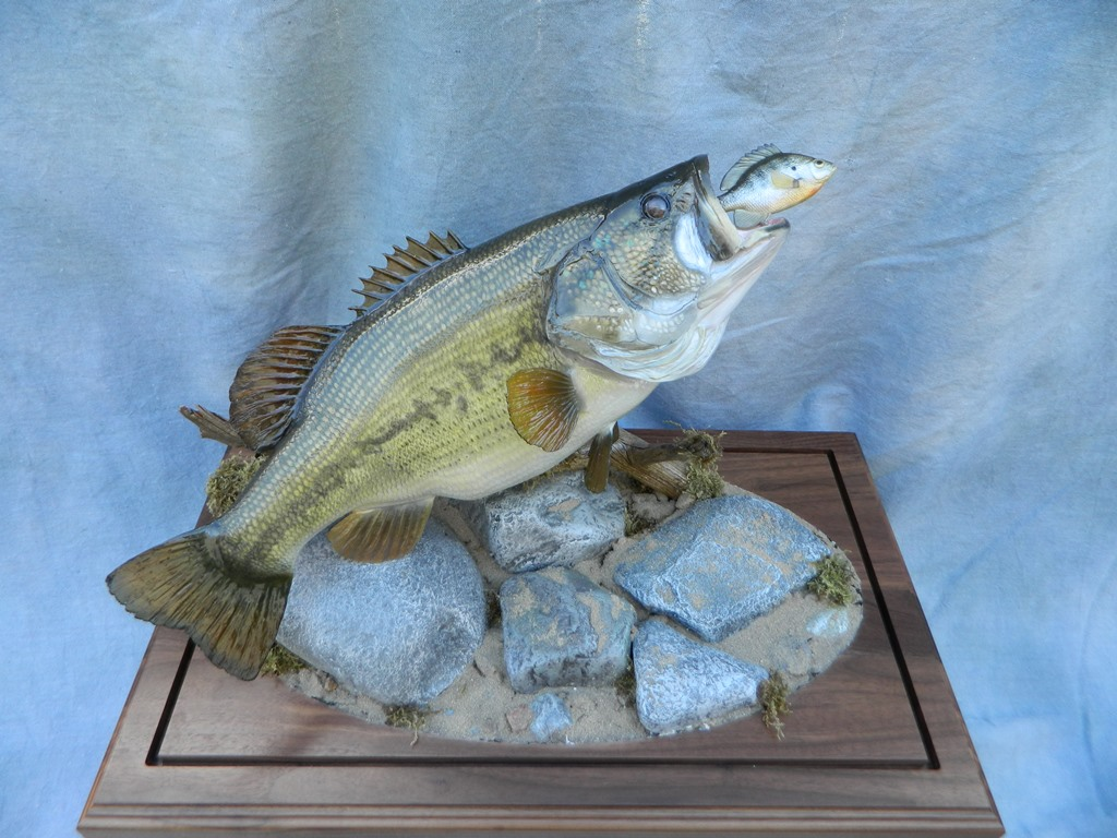 Showpiece taxidermy fish walleye trout crappie mounts for Bass fishing in colorado