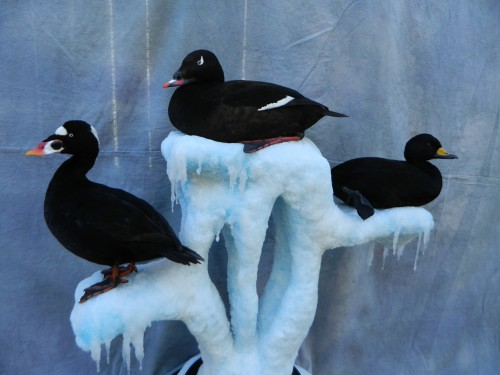 Surf, white-winged, and black scoter sea duck mounts; Long Island, New York