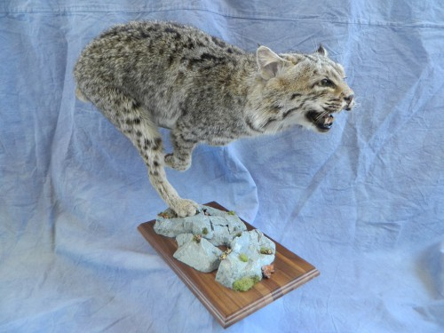 Bobcat life size mount; Rifle, Colorado
