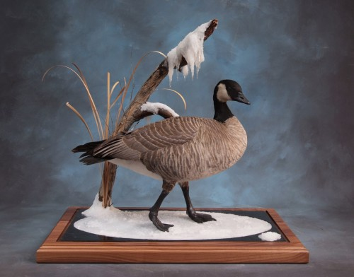 Canada goose mount; Brush, Colorado