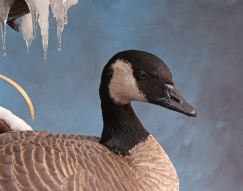 Canada goose mount; Brush, Colorado