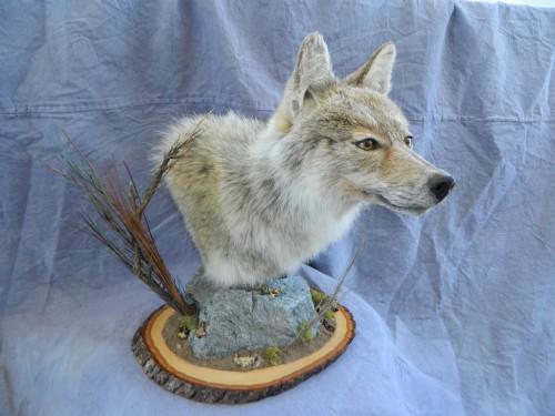 Coyote pedestal mount game head; Craig, Colorado