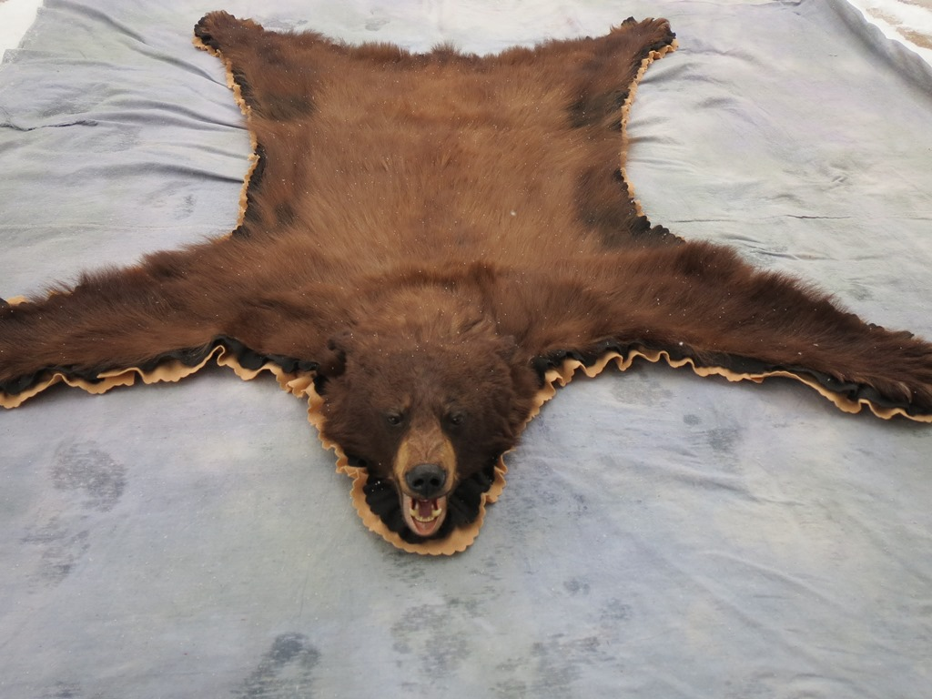 Colorado Brown Phase Black Bear Rug Mount Craig