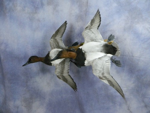 Canvasback drake duck pair mount; Arkansas
