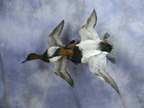 Canvasback drake duck pair mount; Arkansas