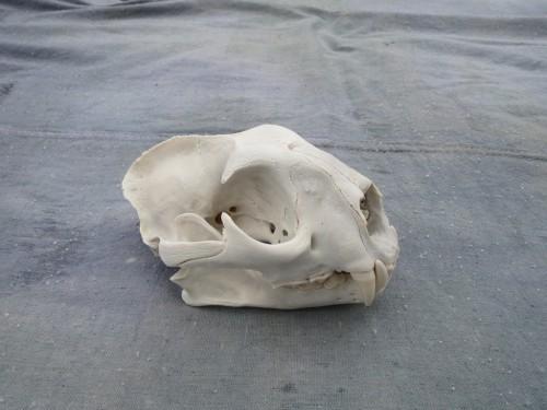 Mountain lion skull mount; Rifle, Colorado