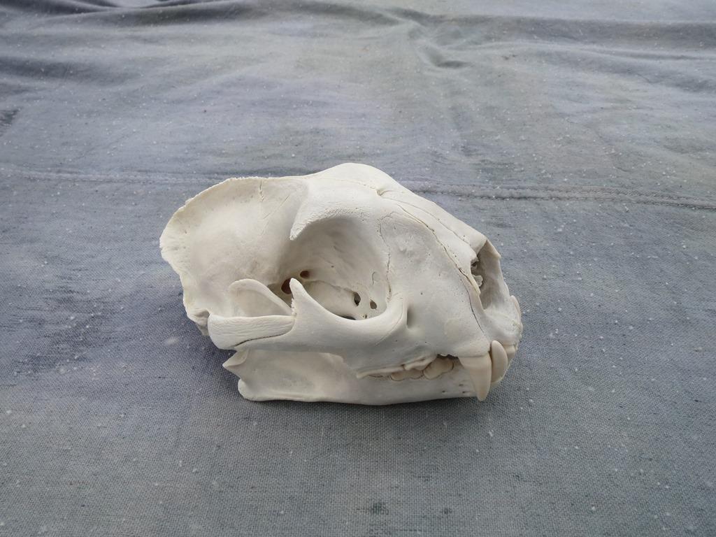 Showpiece Taxidermy: Deer & Elk European Skull Mounts