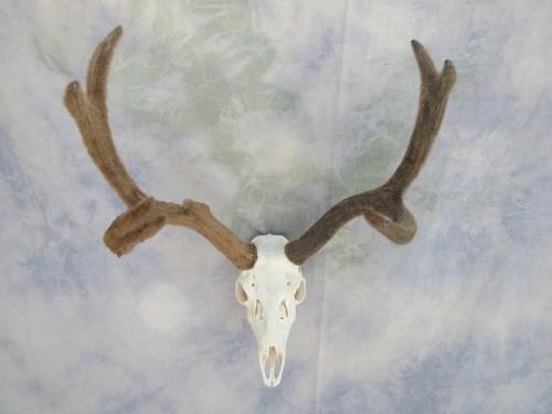 Mule deer European skull mount with velvet; Colorado