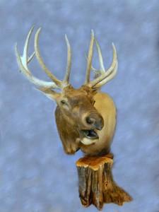 Elk pedestal shoulder mount; Rapid City, South Dakota