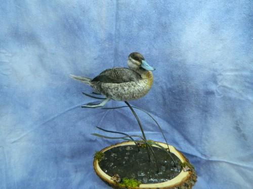 Ruddy duck mount; Arkansas