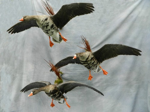 Specklebelly geese mount; Nebraska