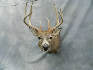 Whitetail deer mount game head; Grand Island, Nebraska
