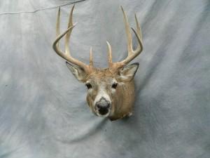 Whitetail deer mount game head; Grand Island, Nebraska