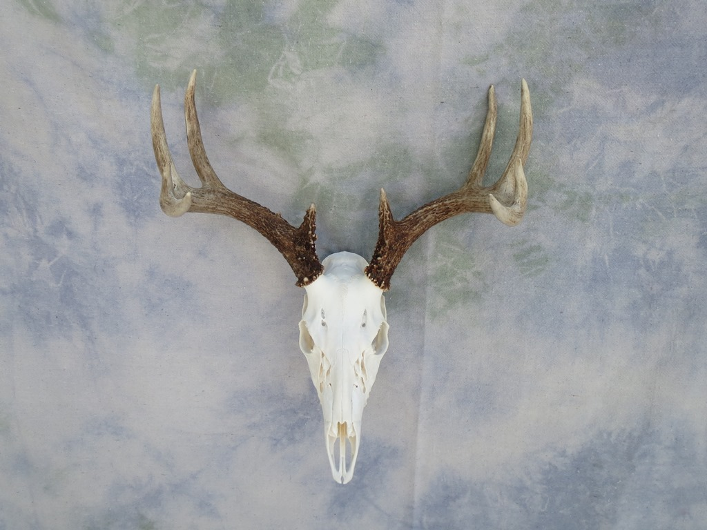 Showpiece taxidermy deer amp elk european skull mounts