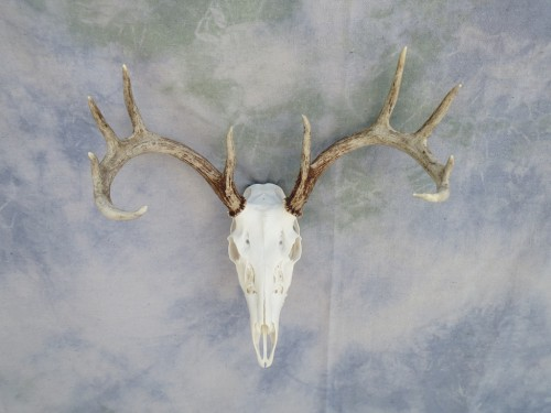 Whitetail European skull mount; Huron, South Dakota