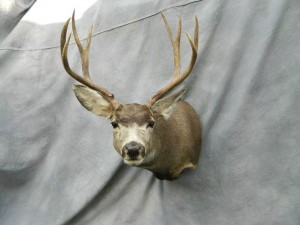 Mule deer shoulder mount game head; Walden, Colorado