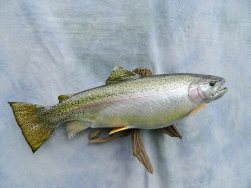 Rainbow trout replica mount; Byers, Colorado