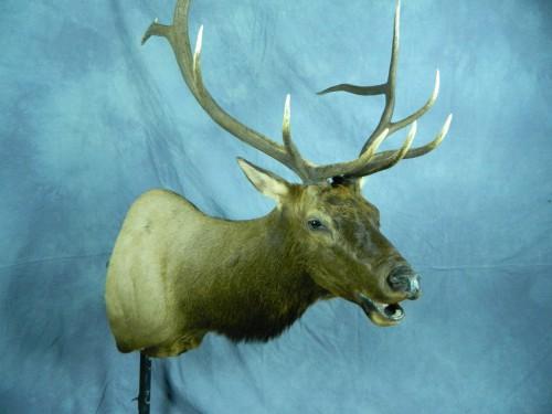 Bugling elk shoulder mount; Rapid City, South Dakota