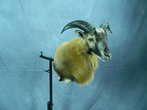 Corsican ram shoulder mount; Texas