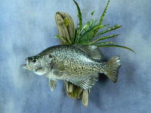 Crappie fish wall mount; Webster, South Dakota