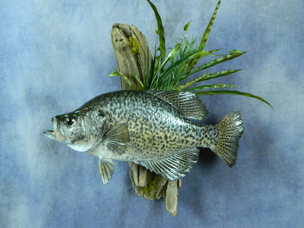 Showpiece taxidermy fish walleye trout crappie mounts for Pictures of crappie fish